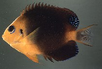 Image of Centropyge hotumatua (Blackear angelfish)