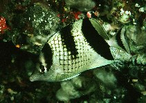 Image of Chaetodon argentatus (Asian butterflyfish)
