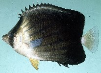 Image of Chaetodon blackburnii (Brownburnie)