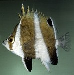 Image of Roa excelsa (Hawaiian gold-barred butterflyfish)
