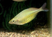 Image of Chilatherina fasciata (Barred rainbowfish)