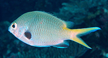 Image of Chromis kennensis