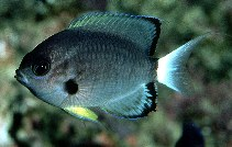 Image of Chromis leucura (Whitetail chromis)