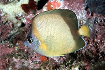 Image of Chaetodon nippon (Japanese butterflyfish)