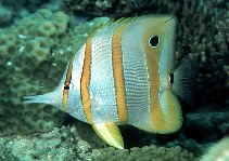 Image of Chelmon rostratus (Copperband butterflyfish)
