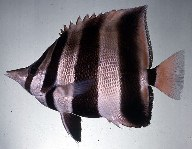Image of Chelmonops truncatus (Eastern talma)