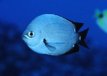 Image of Chromis verater (Threespot chromis)