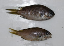Image of Chromis westaustralis (West Australian chromis)