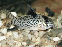 Image of Corydoras leucomelas (False spotted catfish)