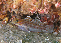 Image of Coryphopterus punctipectophorus (Spotted goby)