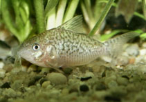 Image of Corydoras sodalis (False network catfish)