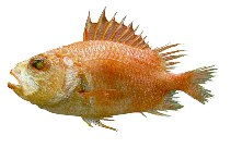 Image of Corniger spinosus (Spinycheek soldierfish)