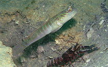 Image of Cryptocentrus multicinctus (Multibarred shrimpgoby)