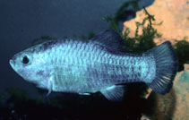 Image of Cyprinodon nevadensis (Amargosa pupfish)