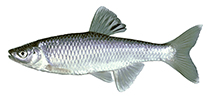Image of Cyprinella spiloptera (Spotfin shiner)
