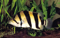 Image of Datnioides microlepis (Finescale tigerfish)