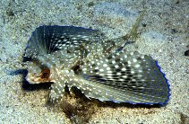 Image of Dactylopterus volitans (Flying gurnard)