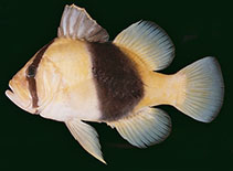 Image of Diploprion bifasciatum (Barred soapfish)