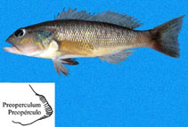 Image of Diplectrum eumelum (Orange-spotted sand perch)