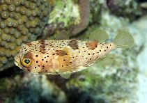 Image of Diodon holocanthus (Longspined porcupinefish)