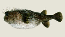 Image of Diodon hystrix (Spot-fin porcupinefish)