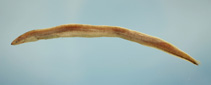 Image of Dysomma anguillare (Shortbelly eel)