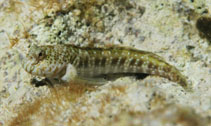 Image of Entomacrodus nigricans (Pearl blenny)