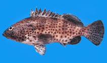 Image of Epinephelus analogus (Spotted grouper)