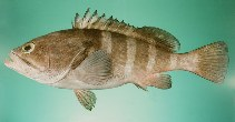 Image of Epinephelus diacanthus (Spinycheek grouper)