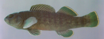 Image of Etheostoma chlorobranchium (Greenfin darter)