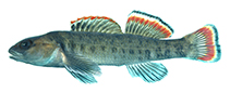 Image of Etheostoma etowahae (Etowah darter)