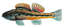 Image of Etheostoma simoterum (Snubnose darter)