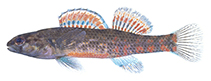Image of Etheostoma swaini (Gulf darter)