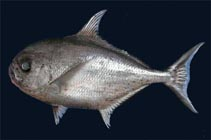 Image of Eumegistus brevorti (Tropical pomfret)