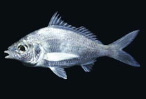 Image of Eucinostomus dowii (Dow\