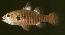 Image of Fowleria marmorata (Marbled cardinalfish)
