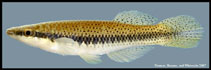 Image of Fundulus olivaceus (Blackspotted topminnow)