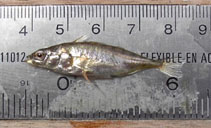 Image of Gasterosteus wheatlandi (Blackspotted stickleback)