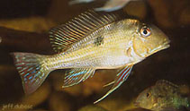 Image of Geophagus dicrozoster