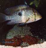 Image of Geophagus obscurus