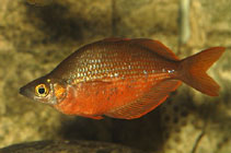 Image of Glossolepis pseudoincisus (Tami River rainbowfish)