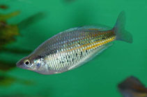 Image of Glossolepis ramuensis (Ramu rainbowfish)