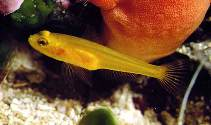 Image of Gobius auratus (Golden goby)