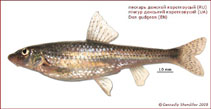 Image of Gobio brevicirris (Don gudgeon)
