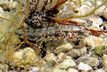 Image of Gobius couchi (Couch\