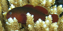 Image of Gobiodon fuscoruber (Brown-red coralgoby)