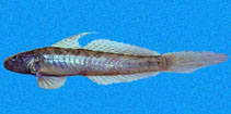Image of Gobionellus microdon (Estuary goby)