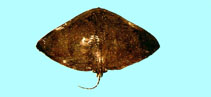 Image of Gymnura japonica (Japanese butterflyray)