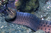 Image of Gymnothorax zonipectis (Barredfin moray)