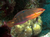 Image of Halichoeres biocellatus (Red-lined wrasse)
